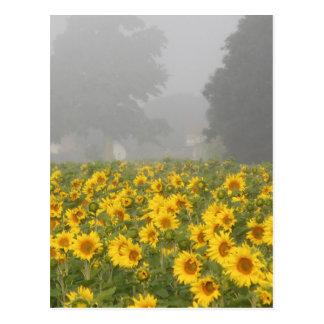 Cartão Postal Girassóis e névoa