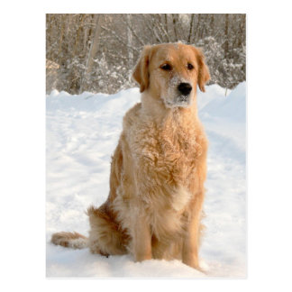 Cartão Postal Golden retriever na neve
