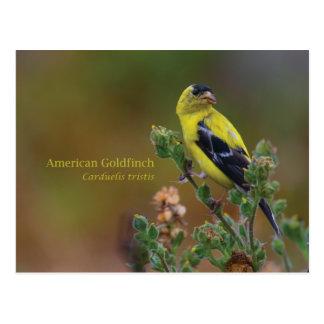 Cartão Postal Goldfinch americano
