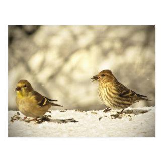 Cartão Postal Goldfinch e pinho Siskin