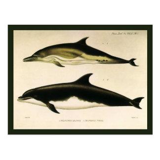 Cartão Postal Golfinhos do vintage, animais marinhos e mamíferos