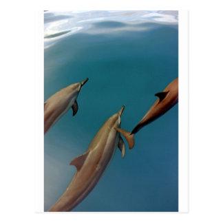 Cartão Postal Golfinhos que nadam na lagoa tropical Tahiti