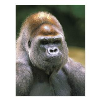Cartão Postal Gorila da planície. Gorila do gorila