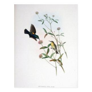 Cartão Postal Gould - Jericho Sunbird