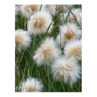 Cartão Postal Grama de algodão (russeolum do Eriophorum)