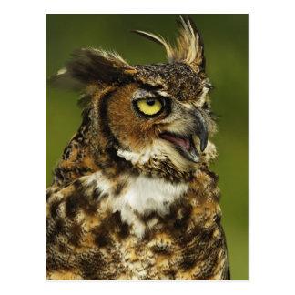 Cartão Postal Grande coruja Horned, virginianus do bubão, cativo