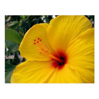 Cartão Postal Grande hibiscus amarelo