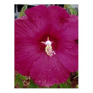 Cartão Postal grande obscuridade - hibiscus vermelho