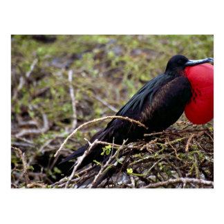 Cartão Postal Grande pássaro de fragata, ilha de Genovesa,