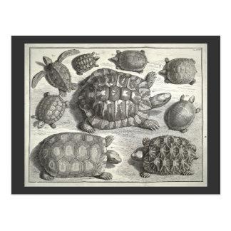 Cartão Postal Gravura a água-forte da tartaruga do vintage