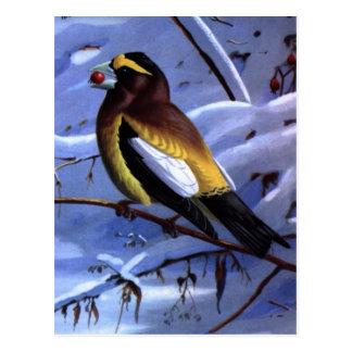 Cartão Postal Grosbeak de noite de Weber