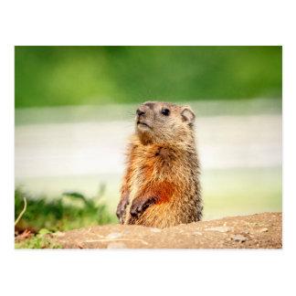 Cartão Postal Groundhog novo