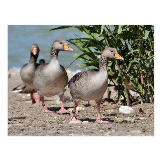 Cartão Postal Grupo de passeio dos gansos de pato bravo europeu
