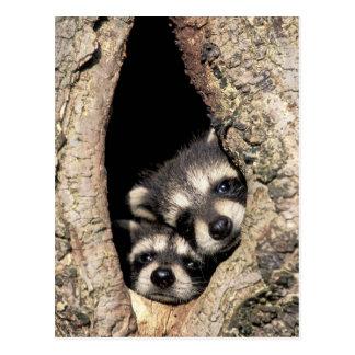 Cartão Postal Guaxinins do bebê no Procyon da cavidade da árvore