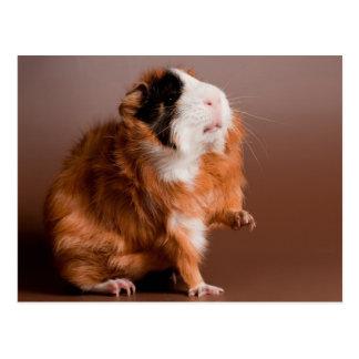 Cartão Postal guinea pigs