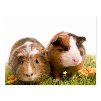 Cartão Postal guinea pigs tem-se lawn