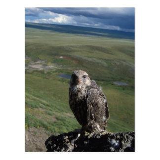 Cartão Postal gyrfalcon, rusticolus de Falco, obtenção juvenil