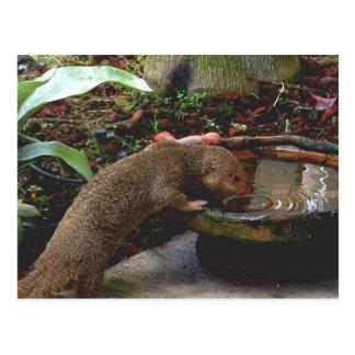 Cartão Postal Happy hour dos animais selvagens do mangusto