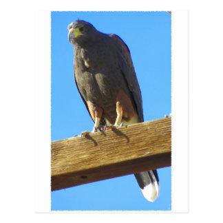 Cartão Postal Harris Hawk
