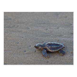 Cartão Postal Hatchlings da tartaruga