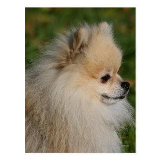 Cartão Postal Headshot 2 de Pomeranian