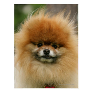 Cartão Postal Headshot de Pomeranian que olha a câmera