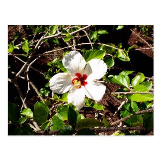 Cartão Postal Hibiscus branco