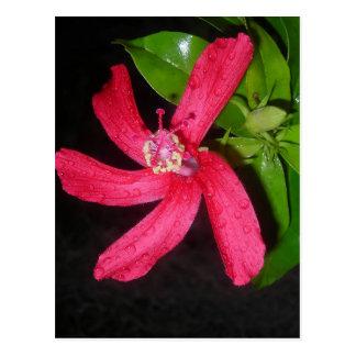 Cartão Postal hibiscus vermelho