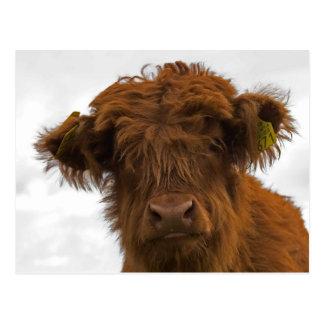 Cartão Postal Highland baby cow Cute portrait postcard