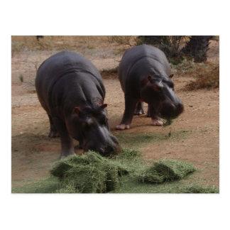 Cartão Postal Hipopótamos