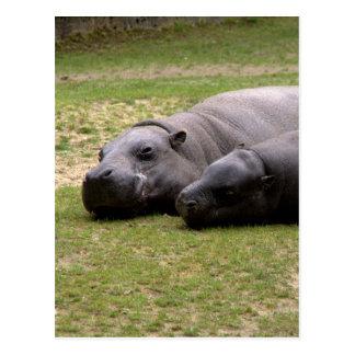 Cartão Postal Hipopótamos do pigmeu