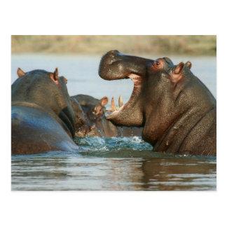 Cartão Postal Hipopótamos na água