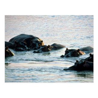 Cartão Postal Hipopótamos - vagem relaxado no rio no crepúsculo