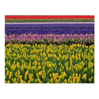Cartão Postal Holland cor-de-rosa em flores da primavera