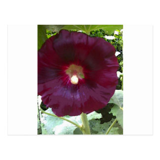 Cartão Postal Hollyhock do chocolate