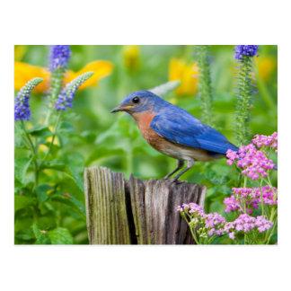 Cartão Postal Homem do Bluebird no cargo da cerca no jardim