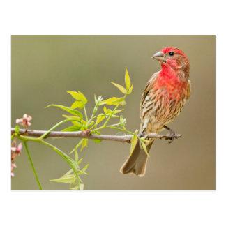 Cartão Postal Homem do passarinho de casa (Carpodacus Mexicanus)