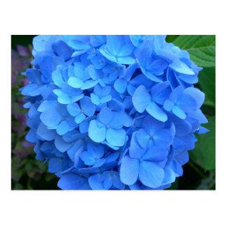 Cartão Postal Hydrangea azul