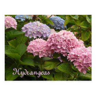 Cartão Postal Hydrangeas