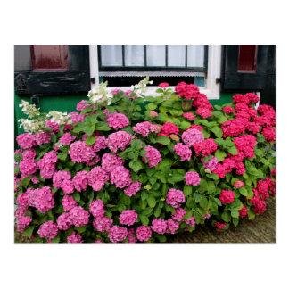 Cartão Postal Hydrangeas cor-de-rosa, Holland
