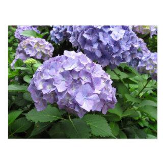 Cartão Postal Hydrangeas em jardins de Trebah, Cornualha