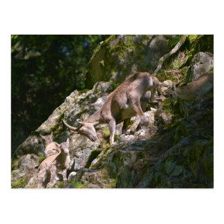 Cartão Postal Íbex alpino na montanha