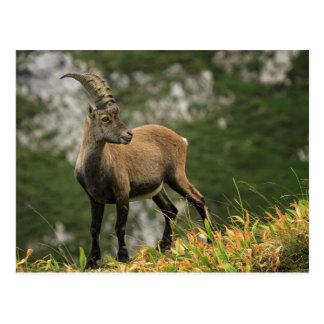 Cartão Postal Íbex selvagem alpino, da cabra, ou steinbock