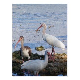 Cartão Postal Íbis 3 na costa da baía de Florida