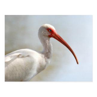Cartão Postal Íbis de Florida - pássaro de água legal