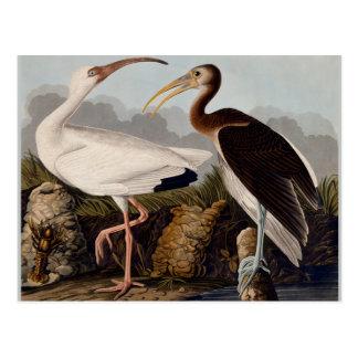 Cartão Postal Íbis do branco de Audubon
