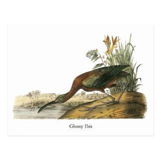 Cartão Postal Íbis lustrosos, John Audubon