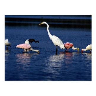 Cartão Postal Íbis, spoonbills, grande egret, garça-real azul e