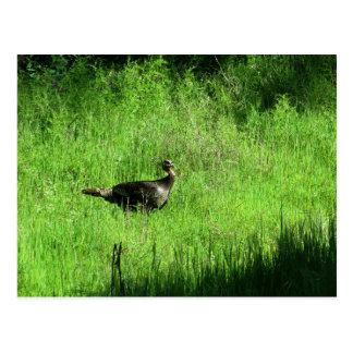 Cartão Postal Ícones de Folsom: Turquia selvagem