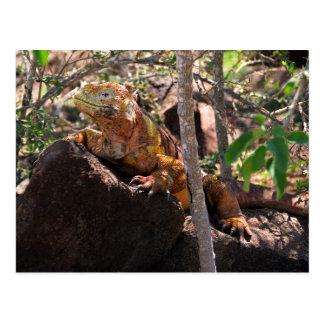 Cartão Postal Iguana da terra, ilha norte de Seymour, Galápagos